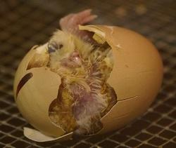 яйцо, цыпленок